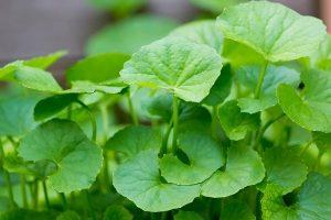 Chiết xuất rau má là gì?